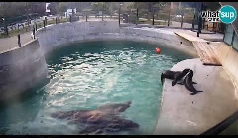 Morski Lavovi Hranjenje Zoo Zagreb 4 3 2017 Video Livecamcroatia Istrazi Hrvatsku