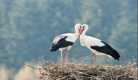 The most popular storks in Croatia