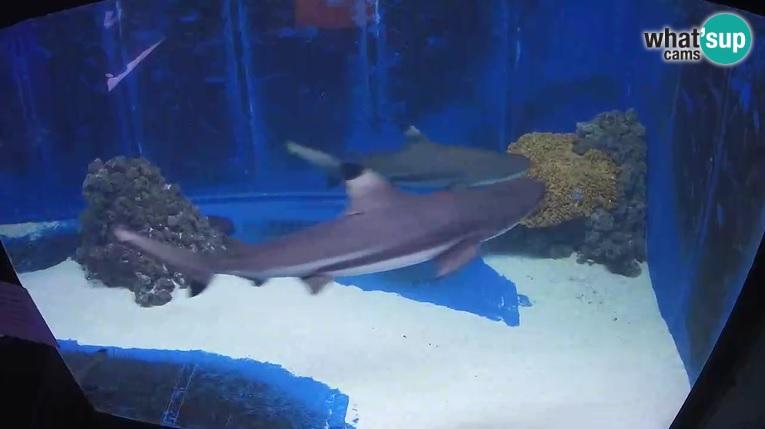 sharkspula31.jpg